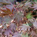 ACER palmatum 'Inazuma'