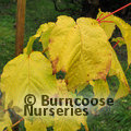 Small image of ACER