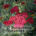 Photo of ACHILLEA 'Red Velvet'