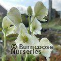 ACONITUM napellus subsp. vulgare 'Albidum'