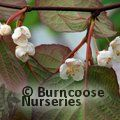 Small image of ACTINIDIA