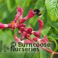Small image of AESCULUS