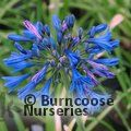 AGAPANTHUS 'Misty Dawn'