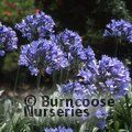 Small image of AGAPANTHUS