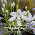 Photo of AGAPANTHUS 'Queen Mum'