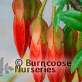 Small image of AGAPETES
