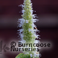 Small image of AGASTACHE