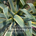 Small image of AGAVE