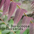Small image of AILANTHUS