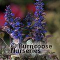 Small image of AJUGA