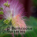 Small image of ALBIZIA