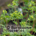 Small image of ALCHEMILLA
