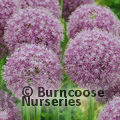 Small image of ALLIUM