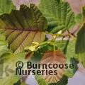 Small image of ALNUS