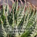 Small image of ALOE