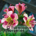 Small image of ALSTROEMERIA