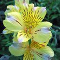 ALSTROEMERIA 'Princess Angela'