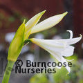 Photo of AMARYLLIS belladonna
