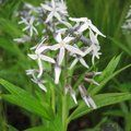 Small image of AMSONIA