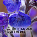 Photo of ANCHUSA azurea 'Loddon Royalist'