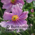 Small image of ANEMONE