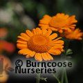 ANTHEMIS 'Orange Dream'