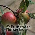 APPLE 'Laxton's Superb'