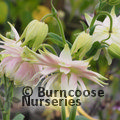 Photo of AQUILEGIA vulgaris 'Greenapples'
