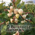 Small image of ARBUTUS