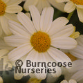 Small image of ARGYRANTHEMUM