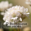 Small image of ARMERIA