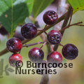 Small image of ARONIA