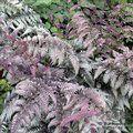 HARDY FERNS Athyrium niponicum var. pictum 'Burgundy Lace'