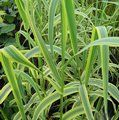 Small image of ARUNDO
