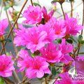 Small image of AZALEA - DECIDUOUS