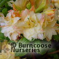 AZALEA - DECIDUOUS 'Cannon's Double'