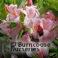 AZALEA - DECIDUOUS 'Candy Lights'