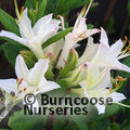 AZALEA - DECIDUOUS 'Fragrant Star'