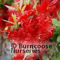 AZALEA - DECIDUOUS 'Wallowa Red'