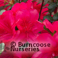 AZALEA - EVERGREEN 'Mothers Day'