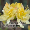 AZALEA - DECIDUOUS 'Northern Hi-Lights'