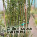 PROTEA Banksia meisneri