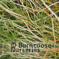PROTEA Banksia occidentalis