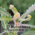 PROTEA Banksia prionotes