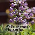 BAPTISIA australis 'Purple Smoke'