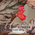 Small image of BEGONIA
