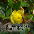 Small image of BERBERIS