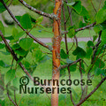 BETULA utilis ssp. albosinensis 'China Rose'