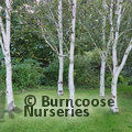 Photo of BETULA utilis ssp. jacquemontii