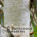 BETULA utilis ssp. jacquemontii 'Grayswood Ghost'